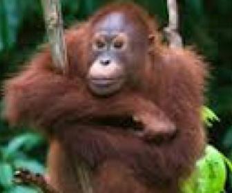 Une île pour les orangs-outans replay