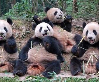 Sur la piste des pandas replay