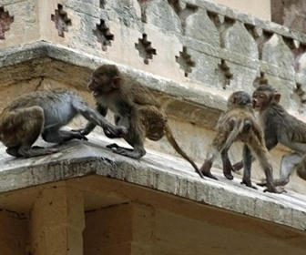 Gang de macaques replay